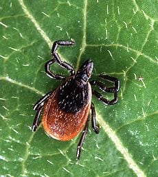 Lyme Disease Greenville