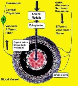 Brain Adrenal Interactions