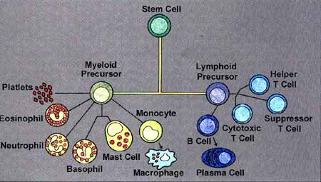 Stem Cell and Immune System Cells