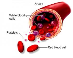 Artery Cross-Section