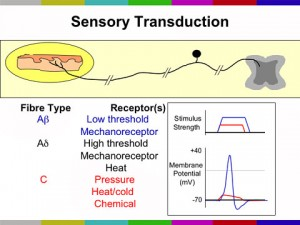 Sensory Transduction by Fiber Type